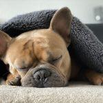 french-bulldog-4713013_1920
